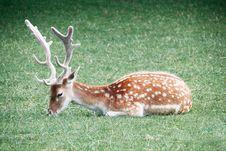Free Fallow Deer Royalty Free Stock Photo - 33117365