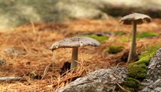 Mushrooms In A Forest. Grisette &x28;Amanita Vaginata&x29; Royalty Free Stock Photography