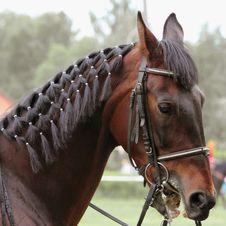 Portrait Of Arabian Stallion Royalty Free Stock Images