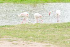 Free Flamingo Stock Photography - 33129222