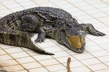Free Fierce Crocodile Royalty Free Stock Photo - 33129755