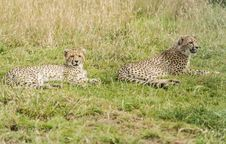 Two Young Cheetahs Stock Image