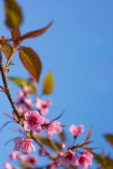 Free Wild Himalayan Cherry Sakura Blossom Border Royalty Free Stock Photography - 33135067