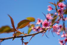 Free Wild Himalayan Cherry Sakura Blossom Border Royalty Free Stock Photo - 33135075