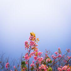 Free Wild Himalayan Cherry Sakura Blossom Border Royalty Free Stock Image - 33135086