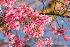 Free Wild Himalayan Cherry Sakura Royalty Free Stock Image - 33135106