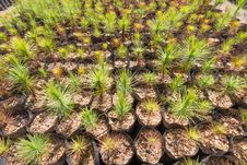 Free Pine Tree Plantation Nursery Pattern Stock Photos - 33135223