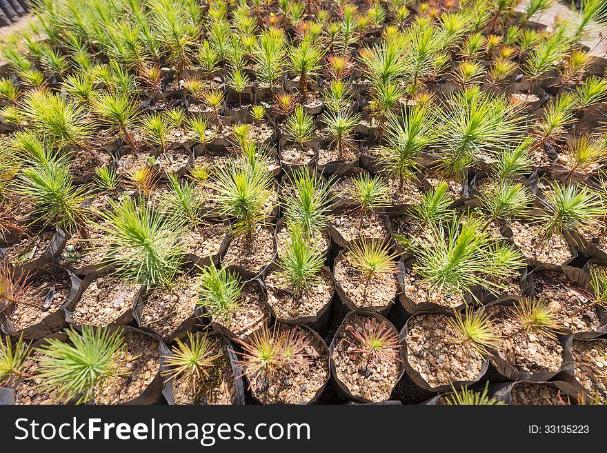 Pine tree plantation nursery pattern