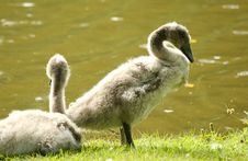 Free Mute Swan Babies Royalty Free Stock Photography - 33142127