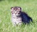 Free Little Lop-eared Kitten Stock Photography - 33152072