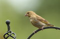 Free Greenfinch. Royalty Free Stock Photo - 33153465