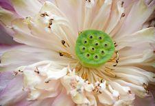 Free Lotus Seed Stock Image - 33150161