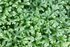 Free Selaginella Kraussiana Royalty Free Stock Photos - 33151468