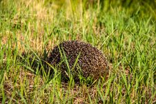 Free Hedgehog In The Grass. Royalty Free Stock Images - 33151679