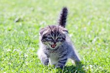 Free Little  Kitten Meowing Royalty Free Stock Images - 33151769