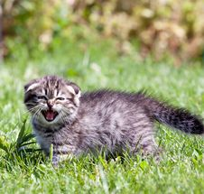 Free Little  Kitten Meowing Royalty Free Stock Images - 33151839