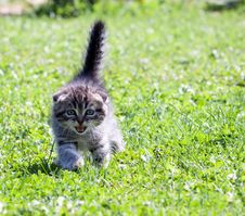 Free Little Lop-eared Kitten Royalty Free Stock Photography - 33151847