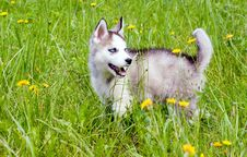 Free Young Huskies Royalty Free Stock Photo - 33152025