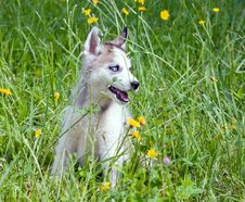 Free Young Husky Royalty Free Stock Photography - 33152037