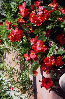 Free Begonias Flowering Plants Royalty Free Stock Photo - 33153025