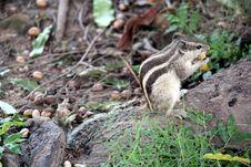 Free Grey Squirrel Stock Photo - 33157770