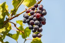 Free Grape Stock Images - 33161224