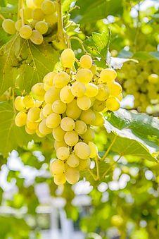 Free Grape Stock Photo - 33161260