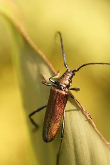 Free Glittering Beetle On Leaf Stock Image - 33164061