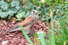 Free Kestrel With Prey Stock Images - 33164154