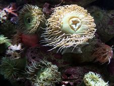 Free Sea Anemones Royalty Free Stock Photo - 33169735