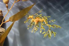 Free Leafy Sea Dragon Stock Photo - 33169770