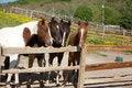 Free Horses Royalty Free Stock Photo - 33170535