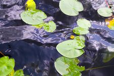 Free Water Lily In A Pond Stock Images - 33174794