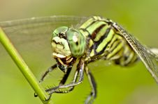 Free Tiger Dragonfly Chewing Insect Close Up Royalty Free Stock Photo - 33193005