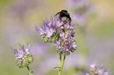 Free Phacelia Flower And Bee Royalty Free Stock Images - 33195129