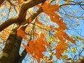 Free Autumn Maple Stock Photos - 3322033