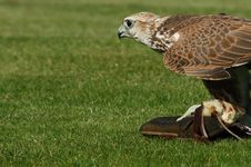 Free Peregrine Falcon Stock Photos - 3321023
