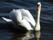 A Swan Glides By Royalty Free Stock Image