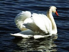 A Swan Glides By Stock Photos