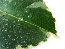 Free Wet Leaf Stock Photo - 3321400