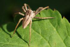 Spider Pisaura Mirabilis Royalty Free Stock Photo