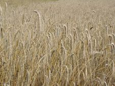 Free Rye Field Stock Photo - 3321630