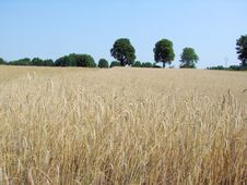 Free Rye Field And Trees Royalty Free Stock Photos - 3321688