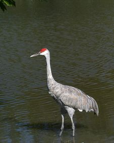 Free Sandhill Crane Stock Photo - 3322130