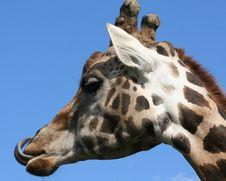 Free Giraffe Royalty Free Stock Image - 3322136