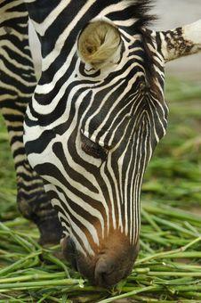 Free The Zebra Royalty Free Stock Photo - 3322645