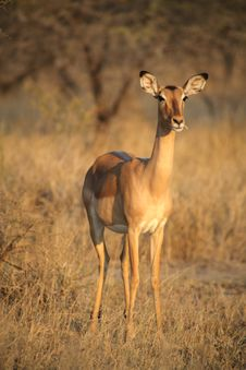 Free Impala Royalty Free Stock Photography - 3323697