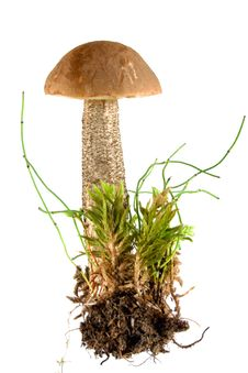 Brown Cap Mushroom Stock Photos
