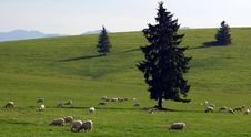 Sheep On The Landscape Royalty Free Stock Image