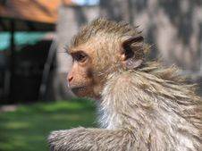 Wet Monkey Royalty Free Stock Image